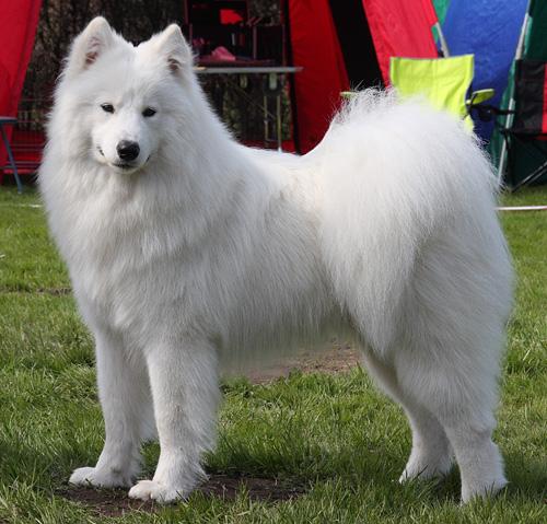 купити белых и пушистых собак первый шаг